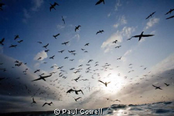 This is the view of the diving cape gannets, just as i su... by Paul Cowell