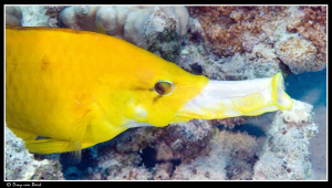 Just to show what the female slingjaw wrasse can do... by Dray Van Beeck