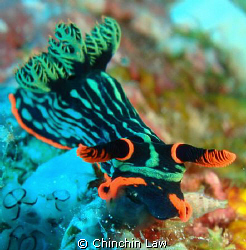 munchy munchy!!! dusky nembrotha by Chinchin Law