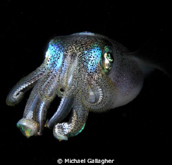 Reef squid in midwater - shot taken on a night dive in Ko... by Michael Gallagher