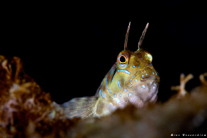Blenny. As shot yesterday during my early morning dive in... by Rico Besserdich