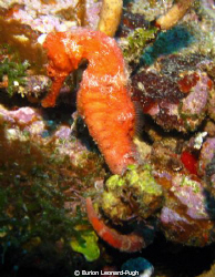 Seahorse spotted on the Veronica L wreck, Grenada WI. Tak... by Eurion Leonard-Pugh