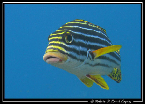 Plectorhinchus vittatus above the U.S. Liberty wreck (Bali) by Raoul Caprez