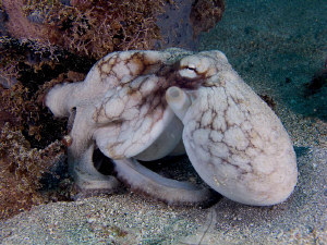 Common octopus. by Juan Torres