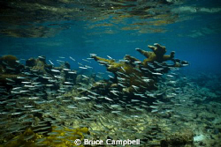 Silversides on the sandy spit by Bruce Campbell
