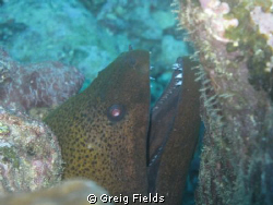 This is a shot of a green moray eel that I took while in ... by Greig Fields