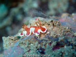 Nudi on manual foccus and no external flash . Size of nud... by Jacques Vieira