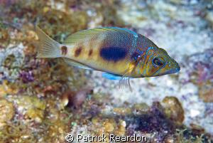 Beautiful fish.  Love the coloring.  Grand Cayman. by Patrick Reardon