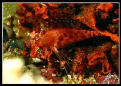 parasite feeding on a hawkfish... by Adriano Trapani