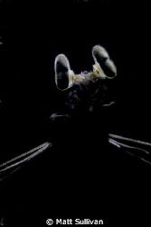 Backlit Mantis by Matt Sullivan