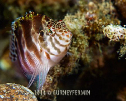 Hawk fish that seems to be as curious about me as I am ab... by Gurney Fermin
