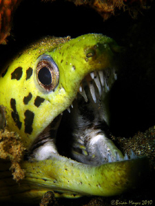Fimbriated Moray (Gymnothorax fimbriatus) by Brian Mayes