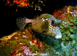 Trunkfish seen in Grand Cayman August 2010.  Photo taken ... by Bonnie Conley