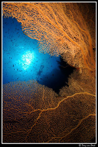Gorgonian and divers by Dray Van Beeck