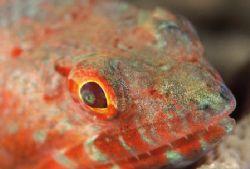 """""""Fierce Creature"""" Face portrait of a Lizardfish taken wi... by Brian Welman"""