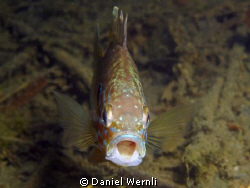 Yawning pumkinseed sunfish by Daniel Wernli
