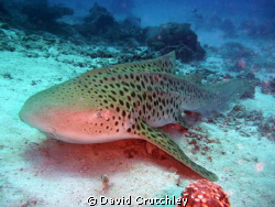 this leopard shark is usually found laying on the bottom ... by David Crutchley
