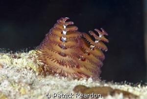 Christmas Tree Worms.  Grand Cayman. by Patrick Reardon