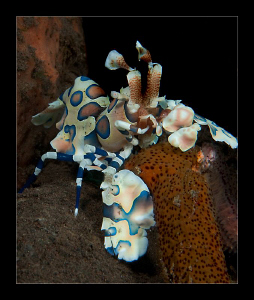 Harlequin shrimp having lunch by Charles Wright
