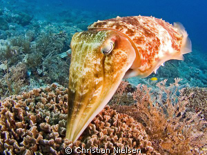 This friendly cuttlefish was laying eggs in the coral. It... by Christian Nielsen