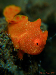 Painted Frogfish (Antennarius pictus). It may look like a... by Brian Mayes