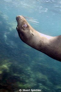 Hard to get a good shot of the very playful sea lions in ... by Stuart Spechler