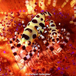 A pair of Coleman Shrimp happily sitting on a fire urchin... by Michael Gallagher