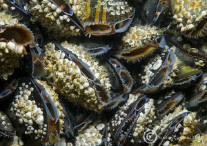 Mussels - filter feeding on incoming tide at Trefor Pier,... by Mark Thomas