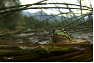 Posing frog by Sven Tramaux