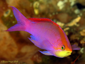 Purple Queen (Pseudanthias pascalus) swimming about at th... by Brian Mayes