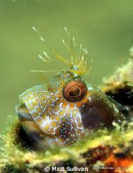 Seaweed Blenny by Matt Sullivan
