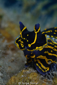 Seaslug showing off its pretty colors... by Jorge Sorial
