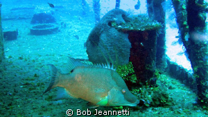 Hogfish by Bob Jeannetti