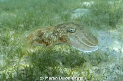 Cuttle fish. Nikon D700 17-35mm at 35mm Subal housing. f8... by Martin Dulon Barre