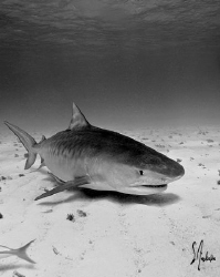Emma makes her approach. Tiger, Lemon and Reef Sharks mak... by Steven Anderson