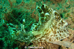 little sea hare by Chinchin Law