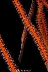 Juvinile trumpetfish by Els Van Den Borre