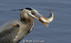 Blue Heron eating White Perch by Matt Sullivan