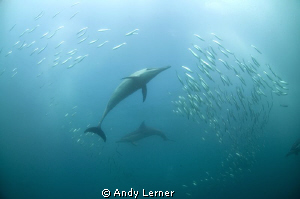 Dolphins round up sardines during the July sardine run in... by Andy Lerner