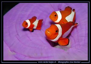 Clown Fish Family.... Que du bonheur... :O).. by Michel Lonfat