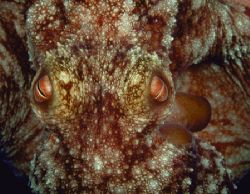 Caribbean Reef Octopus, Bahamas (Nikon F4, 105mm Macro, A... by Andrew Dawson