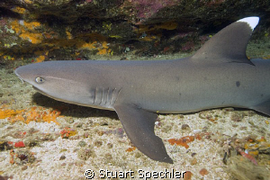 Whitetip reef shark, just chillin' in the Galapagos. by Stuart Spechler