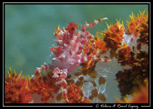 Soft coral crab on its way (Hoplophrys oatesii) by Raoul Caprez