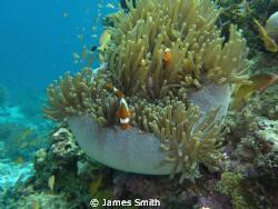 Clown Fish Still Life  by James Smith
