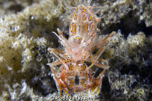 tiger shrimp in lembeh strait,nikon d2x 60mm macro by Puddu Massimo
