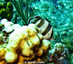 Butterflyfish seen in Grand Cayman August 2010.  Photo ta... by Bonnie Conley