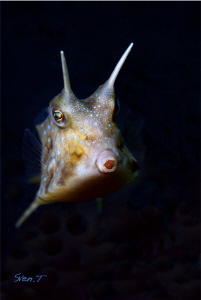 A Long-horned Cowfish not too shy.. by Sven Tramaux