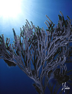 Gorgonians in deep water - this image was taken off Nassa... by Steven Anderson