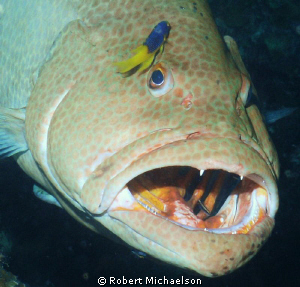 Grouper at a cleaning station just off the Hilma Hooker, ... by Robert Michaelson