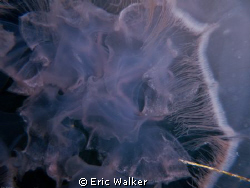 Inside a jellyfish by Eric Walker